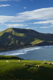 Sheep grazing near Allans Beach, Dunedin, Otago, New Zealand. Photographic Print by David Wall