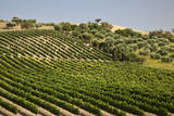 Spain, Andalusia, Cadiz Province. Vineyard field and olive grove. Photographic Print by Julie Eggers
