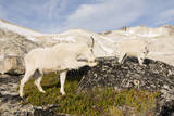 USA, Washington, Upper Enchantments. Mountain goat ewe with kid. Photographic Print by Steve Kazlowski