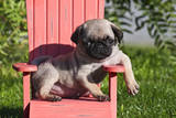 USA, California. Pug puppy slouching on a little red lawn chair. Photographic Print by Zandria Muench Beraldo