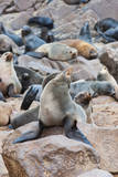Cape Fur seals, Cape Cross, Skeleton Coast, Kaokoland, Namibia. Photographic Print by Nico Tondini