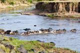 Herd of blue wildebeest crossing the Mara River, Maasai Mara, Kenya Photographic Print by Nico Tondini