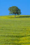 Tree in a field, Val d'Orcia, Siena province, Tuscany, Italy. Photographic Print by Nico Tondini