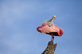 USA, Florida, St. Augustine, Roseate spoonbill at the Alligator Farm. Photographic Print by Joanne Wells