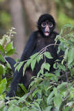 Black Spider Monkey, Amazon basin, Peru. Photographic Print by Tom Norring