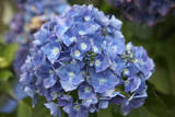 Blue blooming hydrangea flowers, Renton, Washington State, USA Photographic Print by Savanah Stewart