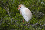 USA, Florida, St. Augustine, Cattle egret at the Alligator Farm. Photographic Print by Joanne Wells