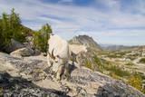 USA, Washington, Upper Enchantments. Mountain goat ewe with kid. Photographic Print by Steve Kazlowski