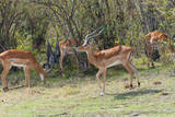 Herd of Impala in the Maasai Mara National Reserve, Kenya Photographic Print by Nico Tondini