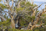 USA, California, Inyo NF. Bristlecone pine tree. Photographic Print by Don Paulson