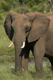 Elephant, Hwange National Park, Zimbabwe, Africa Photographic Print by David Wall