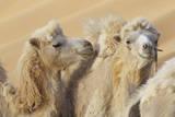 Camels in a desert convoy, Badain Jaran Desert, Gansu Province, China. Photographic Print by Josh Anon