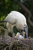 USA, Florida, St. Augustine Alligator Farm wild Wood stork. Photographic Print by Connie Bransilver