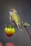 USA, Colorado. Hummingbird rests on flower bud. Photographic Print by Fred Lord