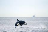 Canada, BC, Sydney, Strait of Georgia. Killer whale breaching. Photographic Print by Steve Kazlowski