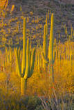 USA, Arizona, Tucson. Desert sunset in Saguaro National Park. Photographic Print by Fred Lord