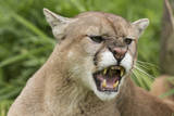 USA, Minnesota, Minnesota Wildlife Connection. Snarling cougar. Photographic Print by Wendy Kaveney