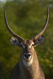 Male waterbuck, Kruger National Park, South Africa Photographic Print by David Wall