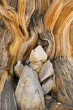 USA, California, Inyo NF. Patterns in bristlecone pine wood. Photographic Print by Don Paulson