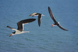 USA, Florida. Black skimmer birds in flight, Navarre. Photographic Print by Anna Miller