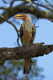 Southern Yellow-billed Hornbill, Kruger National Park, South Africa Photographic Print by David Wall