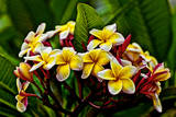 Plumeria Plant in Placencia, Belize. Photographic Print by Joe Restuccia III