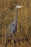USA, Washington, Seattle, Discovery Park. Great blue heron. Photographic Print by Steve Kazlowski