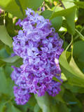 USA, Michigan. Blooming French Lilac. Photographic Print by Anna Miller