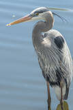 USA, Florida, Orlando. Great Blue Heron at Gatorland. Photographic Print by Jim Engelbrecht