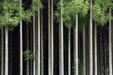 Japan, Nara Prefecture, Soni Plateau. Cedar tree grove. Photographic Print by Dennis Flaherty