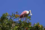 USA, Florida, St. Augustine Alligator Farm wild Roseate spoonbill. Photographic Print by Connie Bransilver