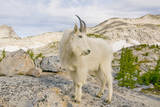 USA, Washington, Upper Enchantments Lake Basin. Mountain goat ewe. Photographic Print by Steve Kazlowski