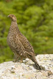 USA, Washington, North Cascades NP, Copper Ridge. A spruce grouse. Photographic Print by Steve Kazlowski