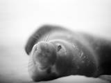 Antarctica, Deception Island, Weddell Seal resting on a beach. Photographic Print by Paul Souders