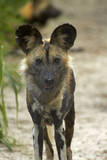 African Wild Dog near Hwange NP, Zimbabwe, Africa Photographic Print by David Wall