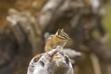 USA, Washington, Copper Ridge. Yellow-pine chipmunk on a log. Photographic Print by Steve Kazlowski