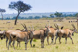 Common eland, Maasai Mara National Reserve, Kenya Photographic Print by Nico Tondini