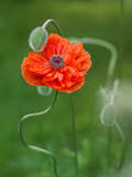 Poppy Flower and Bud, New Brunswick, Canada Photographic Print by Ellen Anon
