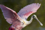 USA, Florida, Everglades NP. Roseate spoonbill with wings spread. Photographic Print by Wendy Kaveney