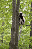 USA, North Carolina, Duke Lemur Center Coquerel's Sifaka. Captive. Photographic Print by Connie Bransilver