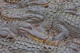 USA, Florida, St. Augustine, Alligators at the alligator farm. Photographic Print by Joanne Wells