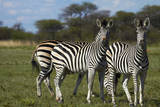 Burchell's zebra, Nxai Pan National Park, Botswana, Africa Photographic Print by David Wall