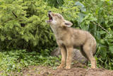 USA, Minnesota, Minnesota Wildlife Connection. Howling coyote pup. Photographic Print by Wendy Kaveney