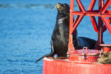 USA, Washington State, Puget Sound. California Sea Lion on a buoy. Photographic Print by Trish Drury