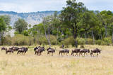 Herd of wildebeest, Maasai Mara National Reserve, Kenya Photographic Print by Nico Tondini