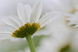 Close-up of Daisy Flower, New Brunswick, Canada Photographic Print by Ellen Anon