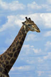 Giraffe, Nxai Pan National Park, Botswana, Africa Photographic Print by David Wall
