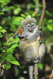 Madagascar, Andasibe, Mother and baby Golden Bamboo Lemur. Photographic Print by Anthony Asael
