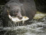 USA, Alaska, Anan Creek. Close-up of black bear catching salmon. Photographic Print by Don Paulson