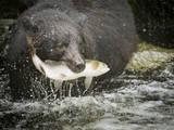 USA, Alaska, Anan Creek. Close-up of black bear catching salmon. Photographic Print by Don Paulson